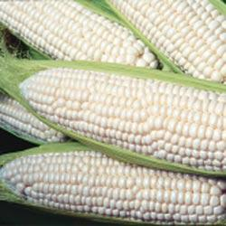 How Sweet It Is (sh2) Hybrid Sweet Corn