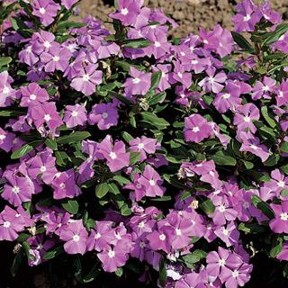 Vinca Cora™ Lavender