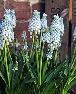 SOLD OUT Valerie Finnis Muscari - 10 bulbs