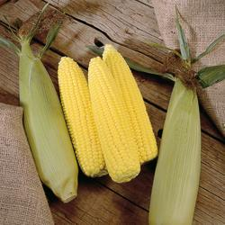 Sweet Corn Extra Tender & Sweet F1 Hybrid (Supersweet)