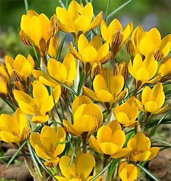 SOLD OUT Fuscotinctus Crocus - 10 bulbs