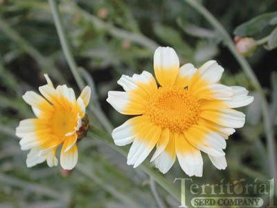 Edible Chrysanthemum-Garland Round Leaved