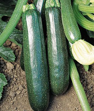 Squash, Summer, Sure Thing Zucchini Hybrid