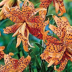 Flore Pleno Lily