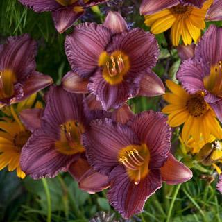 Purple de Oro Hemerocallis Daylily Plant