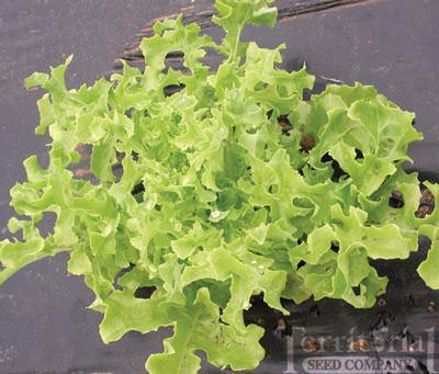 Gold Rush Lettuce Organic