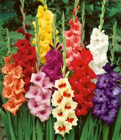 Mixed Border Gladiolus - 5 bulbs