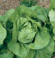 Nancy (OG) (Pelleted) Butterhead Lettuce