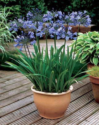 Lily of the Nile Headbourne Hybrids
