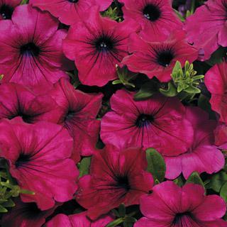 Petunia Wave® Purple Improved Hybrid
