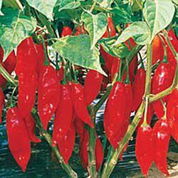 Hot Paper Lantern Hot Pepper