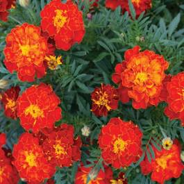 Red Cherry - Marigold, French