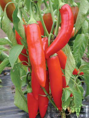 Early Jalapeño Pepper