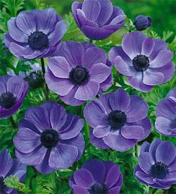 SOLD OUT Mr. Fokker Anemone coronaria - 25 bulbs