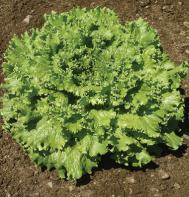 Tropicana (Pelleted) Leaf Lettuce