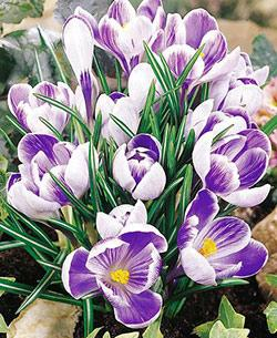 SOLD OUT King of the Striped Large Flowering Crocus - 10 bulbs