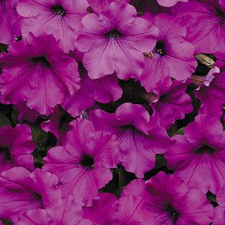 Petunia Easy Wave® Violet Hybrid