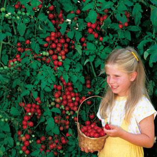 Tomato Sweet Million Hybrid