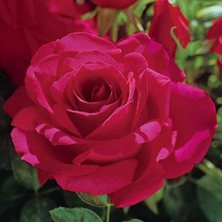 Voluptuous! 24-inch Patio Tree Rose