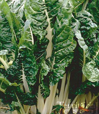 Fordhook Giant Swiss Chard