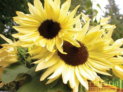 Sunflower-Buttercream
