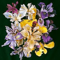 Iris 'Pacific Coast Hybrids'
