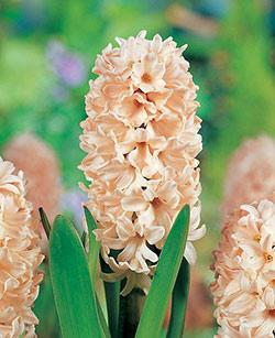 SOLD OUT Apricot Passion Hyacinth - 10 bulbs