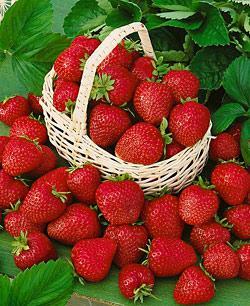Allstar Junebearer Strawberry Plants - 10 root divisions