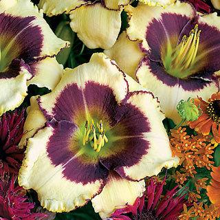 Blackthorne Hemerocallis Daylily Plant