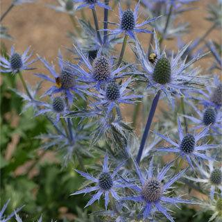 Big Blue Eryngium Sea Holly Plant