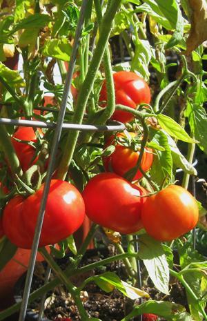 Tomato, Lake