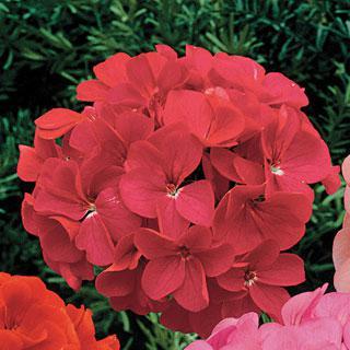 Geranium Orbit Rose