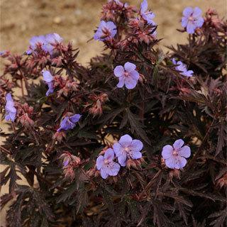 Dark Reiter Geranium pratense Plant