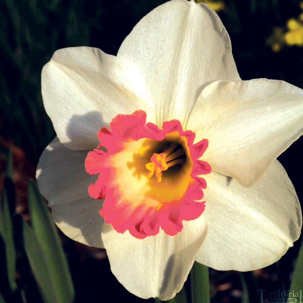 Daffodil-Pink Charm