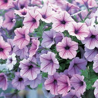 Petunia Opera Supreme Lilac Ice