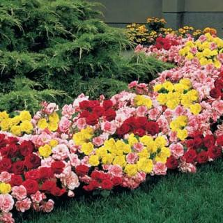 Mixed Magic Rose Hedge