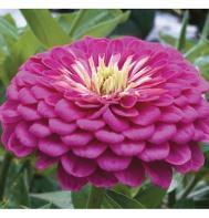 Benary's Giant Lilac