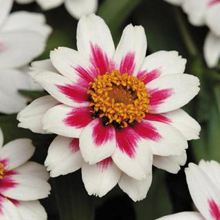 Zinnia-Zahara Starlight Rose