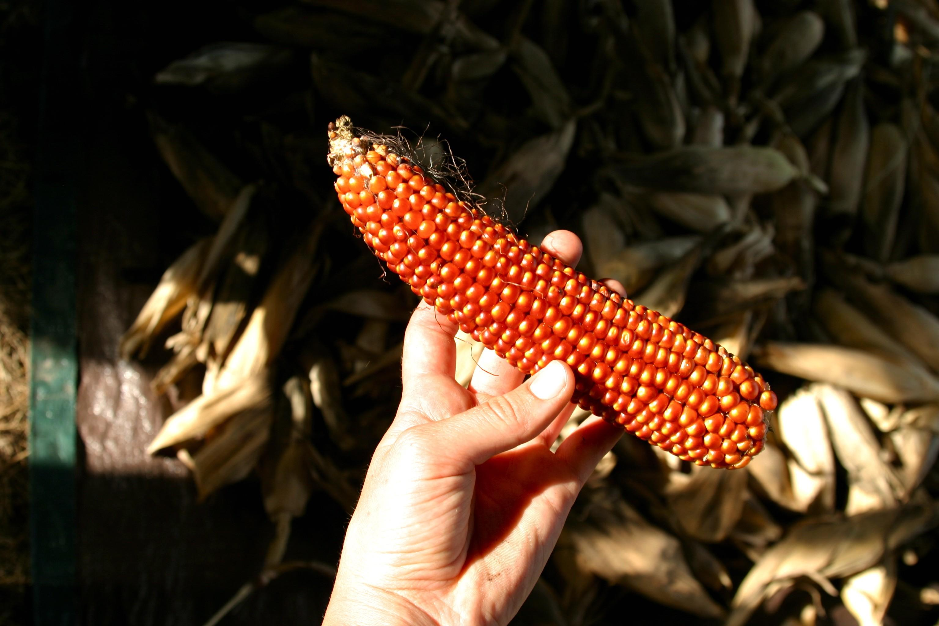 Floriana Red Flint Corn