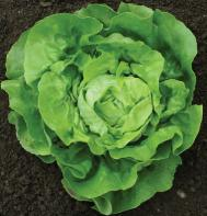 Dancine Butterhead lettuce