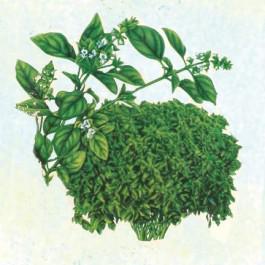 Basil - Lime