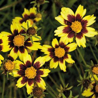 Cosmic Eye Coreopsis Tickseed Plant