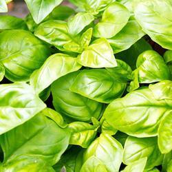 Organic Basil Genovese