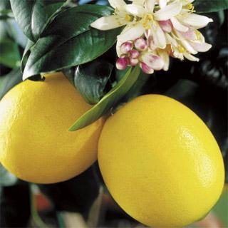 Meyer Improved Citrus Lemon Tree