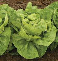 Adriana (Pelleted) Butterhead Lettuce