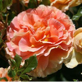 Caribbean Breeze Orange-pink Floribunda Rose
