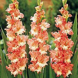 Coral & Cream Gladiolus