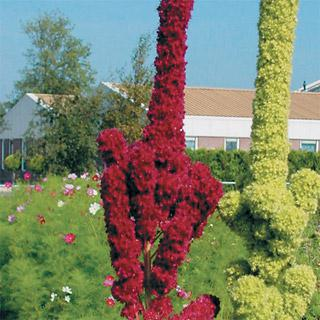 Amaranthus Towers Red