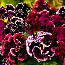 Pansy x wittrockiana 'Chalon Supreme Wildberry Mixed'