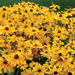 Prairie Sun Gloriosa Daisy Plant